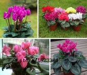 Hot-Sale-7-Colors-Can-be-Choose-Cyclamen-seeds-font-b-Flower-b-font-Seeds-Perennial
