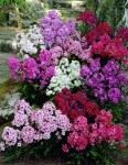 Phlox_paniculata_mixed_6239_10338_1280_1280