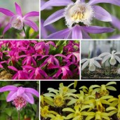 pleione-garden-orchids-6-pack-our-classics-pleione-garden-orchids-kit-bundle