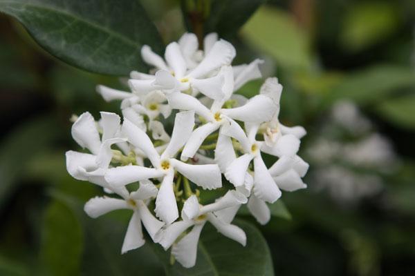Другие экзотические и редкие растения : Trachelospermum jasminoides-Трахелоспермум жасминовидный.