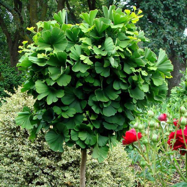 Гинкго билоба в саду