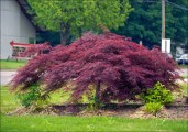 Crimson-Queen-Japanese-Red-Maple