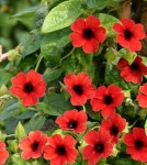 Thunbergia Arizona Dark Red website big