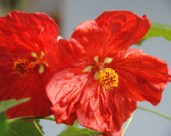abutilon bella red 1