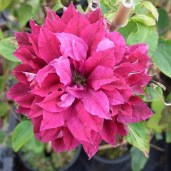 clematis_red_star-klematis_red_star