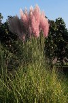 cortaderia_selloana_rose