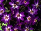hepatica_japonica_forma_magna_dark_blue_shades__resized_1_1_1_1